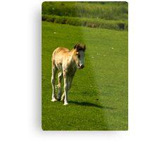 Foal   Metal Print