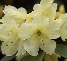 Yellow Rhododendron by Debbie  Roberts