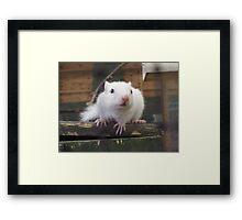 White Chipmunk. Framed Print