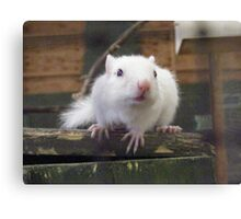 White Chipmunk. Canvas Print