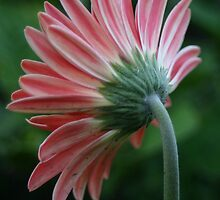 Backside of a pink gerber daisy by PhotoCrazy6