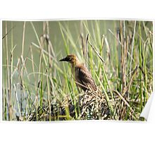 Female Grackle Poster