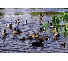 Large Groups of Ducks Near Shore Photographic Print