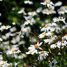 Daisies by Dale Rockell