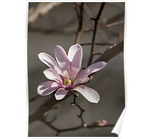 Sunny Pink Magnolia Blossom Poster