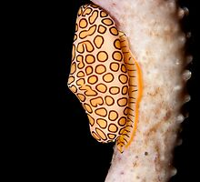Flamingo Tongue by Paul Lenharr II