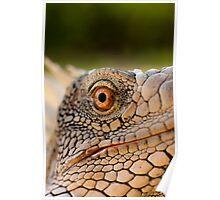 Iguana in Bonaire Poster