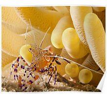 Anenome Shrimp Poster