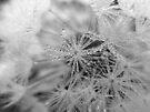 Dew on Dandelion B/W by rhian mountjoy