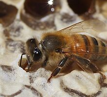 The Honey Capper by Betsy  Seeton