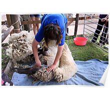 Shearing & Shedding Poster