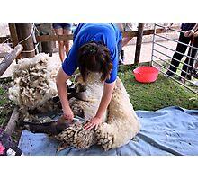 Shearing & Shedding Photographic Print
