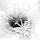 Trichocereus by Linda Gregory