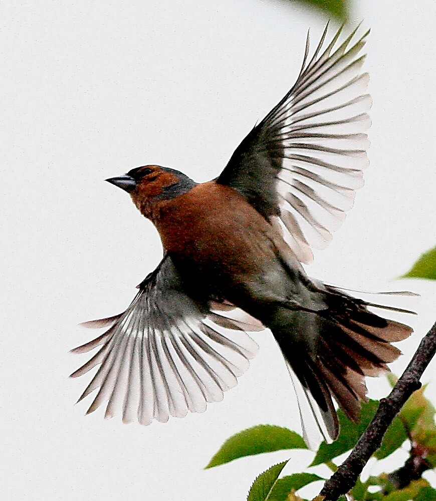 Flight Of The Chaffinch by snapdecisions