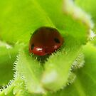 Cosy ladybird (bug) by sarnia2