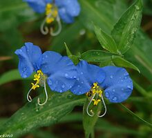 Asiatic Dayflowers - Commelina communis by Lee Hiller