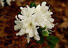 White Azaleas by Sandy Keeton