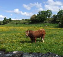 Bull sunning in a green field in Ireland  by Funattic
