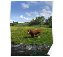 Bull sunning in a green field in Ireland  Poster