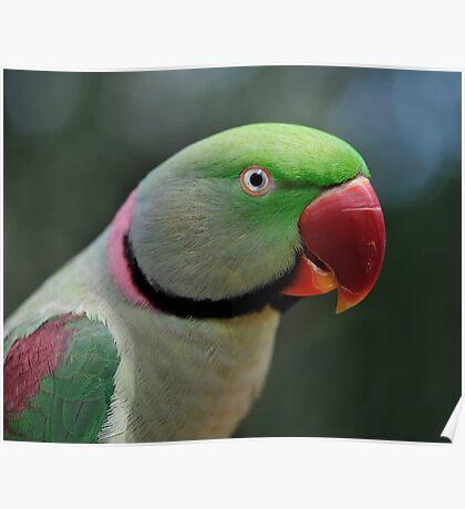 Alexandrine Parrot Poster