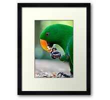 Have a bite - Eclectus parrot Framed Print