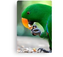 Have a bite - Eclectus parrot Canvas Print