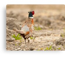 Ring Necked Pheasant: One of My Best Bird Shots Ever Canvas Print