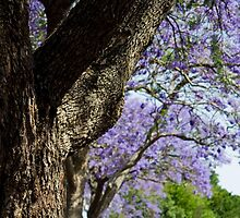 Jacaranda lined street,Gympie,Qld by eagleyeimages