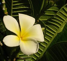 Yellow Plumeria #2 by jtalia