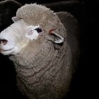 Corriedale Sheep in the Shearing Shed by trevallyphotos