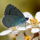 Holly Blue by Ian Sanders