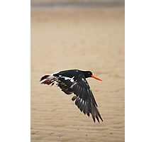 Pied Oystercatcher - In flight Photographic Print