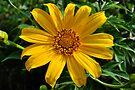 sunflower by gary roberts