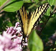 Swallowtail  by ArtBee