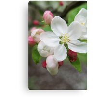 White blossom and pink buds - 2011 Canvas Print