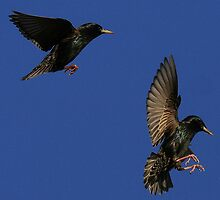 Flight Of The Starlings by snapdecisions