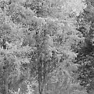 Tall Cedars And Black Bull by Jean Gregory  Evans