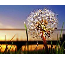 A Dandelion At Sundown. Photographic Print