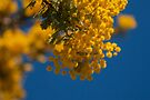 Wattle 1 by Deborah McGrath