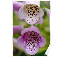 Camelot Lavender Foxglove Flower Poster