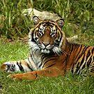 Sumatran Tiger by Sandra Chung