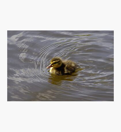Duckling in a Big River Photographic Print