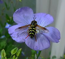 Linseed Flower (15mm in Diameter) and Hoverfly by AnnDixon