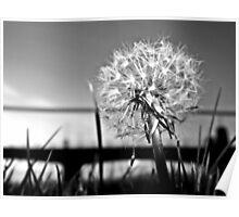 A Dandelion At Sundown In Black And White. Poster