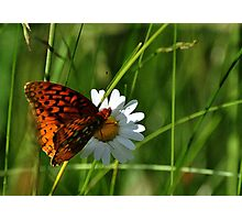 Orange butterfly on white daisy Photographic Print
