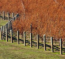 Orange colours of a  Vineyard, New Zealand by trevallyphotos