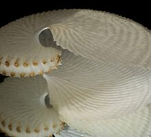 Paper Nautilus Shell with Mirror Reflection by trevallyphotos