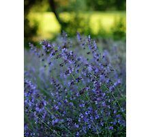 Blooming Heather Photographic Print