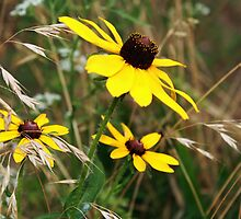 Black Eyed Beauties by Susan Blevins