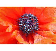 Oriental Poppy Photographic Print